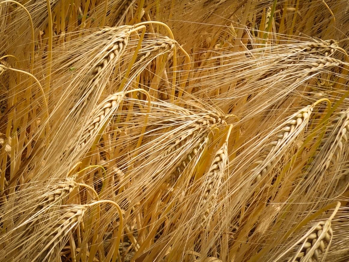 英語 大麦 「麦」を英語で何と言うか。: 浮世逍遥録